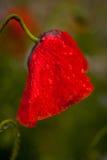 Natte papaverbloem Stock Afbeeldingen