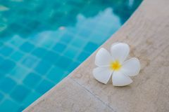 Natte Plumeria-bloem op de pool royalty-vrije stock foto's