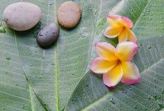 Natte plumeria en steen op groene bladachtergrond Concept voor kuuroord Royalty-vrije Stock Fotografie