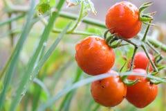natte rijpe tomaten met het groene blad Stock Foto