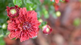 Natte Rode Chrysant royalty-vrije stock foto