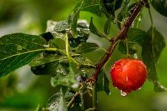 Natte rode kersenpruimen op een groene tak Royalty-vrije Stock Afbeeldingen