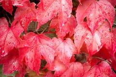 Natte rode wijnbladeren royalty-vrije stock afbeelding