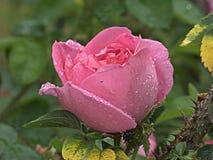 Natte roze nam toe royalty-vrije stock afbeeldingen