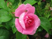 Natte roze nam toe stock foto's