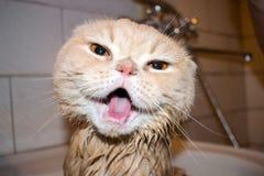 Natte Schotse Vouwenkat tijdens het baden Grappige roomkat met folde royalty-vrije stock fotografie