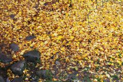 Natte stenen en vliegende gele die bladeren de aarde worden uitgestrooid onder een boom in de herfst in het park Stock Foto's