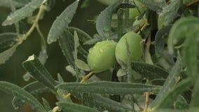 Natte tak van olijfboom met regendruppels op de bladeren stock videobeelden