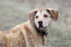 Natte tan gekleurde hond die over schouder kijken Royalty-vrije Stock Fotografie