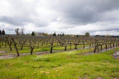 Natte Wijngaard na de Onweren Sonoma Californië van de de Lenteregen royalty-vrije stock foto's
