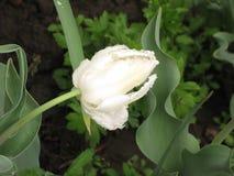 Natte witte badstoftulp royalty-vrije stock afbeeldingen