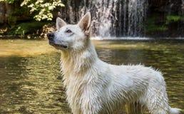 Natte Witte Zwitserse Herdershond na het zwemmen in het meer royalty-vrije stock foto