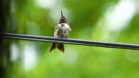 Natte Zoemende vogel die uit tong op elektrodraad plakken stock videobeelden
