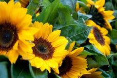 Natte zonnebloemen royalty-vrije stock foto