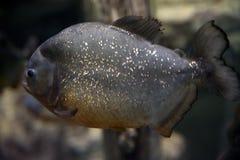 Nattereri roofzuchtige vissen van piranhaserrasalmus in het aquarium royalty-vrije stock foto
