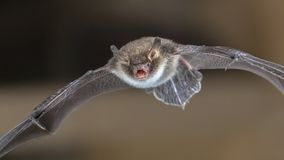 Natterers bat in flight. Rare Natterer's bat (Myotis nattereri) in flight on church attic with distinctive white belly Royalty Free Stock Photo