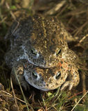 Natterjack Toad. Bufo calimita, pair in sand dune habitat Stock Photos