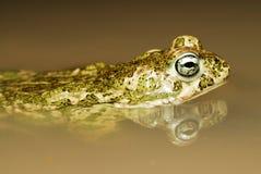 Natterjack toad (Bufo calamita) near Valdemanco Stock Image