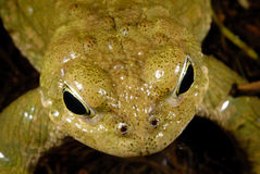 Natterjack toad Bufo calamita in Valdemanco, Madrid, Spain Stock Photos