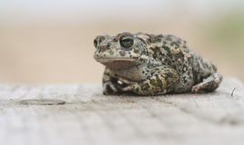 Natterjack toad Bufo Epidalea calamita. It is a very rare Amphibian in the U.K. Royalty Free Stock Photos