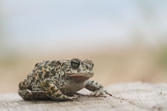 Natterjack toad Bufo Epidalea calamita. It is a very rare Amphibian in the U.K. A Natterjack toad Bufo Epidalea calamita. It is a very rare Amphibian in the U.K Stock Image