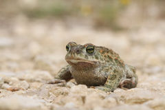 Natterjack toad Bufo Epidalea calamita. It is a very rare Amphibian in the U.K. Stock Photos