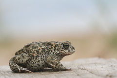 Natterjack toad Bufo Epidalea calamita. It is a very rare Amphibian in the U.K. Royalty Free Stock Photography