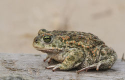 Natterjack toad Bufo Epidalea calamita. It is a very rare Amphibian in the U.K. Stock Image