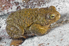 Natterjack toad. Close up of a Natterjack toad Royalty Free Stock Image