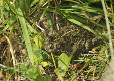 Natterjack Toad Royalty Free Stock Photo