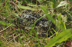 Natterjack Toad. Epidalea calamita, formerly Bufo calamita Royalty Free Stock Photography