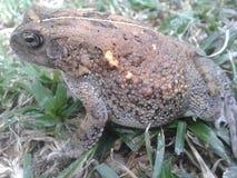 Natterjack Toad Stock Photo