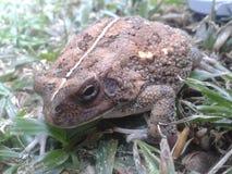 Natterjack Toad Stock Photos