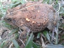 Natterjack Toad Royalty Free Stock Photography
