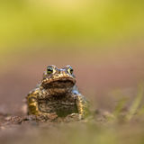 Natterjack toad front legs. Natterjack toad (Epidalea calamita) standing on front legs to look further in the distance. With copyspace Stock Images