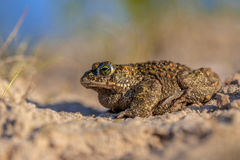 Natterjack toad sideview. Profile sideview of a Natterjack toad (Epidalea calamita) in sandy habitat. With shallow DOF Royalty Free Stock Photography