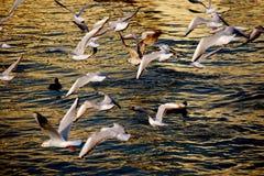 Nattflyg av en flok för seagull` s Arkivfoton