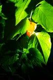 Nattfoto av Physalisfrukt som glöder som lyktor bland gröna sidor arkivbild