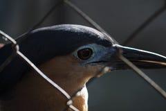 Natthäger i panelljus Löst tropiskt fågelfoto Häger i zoo Filippinernahäger Arkivfoto