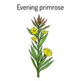 NattljusOenotherabiennis, eller suncups, sundrops, dekorativt och medicinalväxt royaltyfri illustrationer