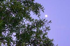Nattmåne och träd Arkivbilder