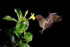 Nattnaturen, Pallas ` s Lång-spontade slagträet, den Glossophaga soricinaen som flyger slagträet i mörk natt Nattligt djur i flyk arkivbild
