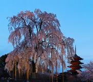 Nattsikt av den berömda Fem-berättelse pagoden av den Toji templet och blomningar av ett jätte- sakura träd i Kyoto Japan Royaltyfri Fotografi