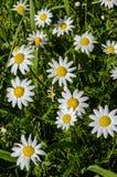 Natual daisies Royalty Free Stock Photos