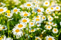 Natual white chamomile flowers in the forest royalty free stock image