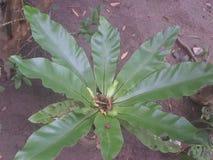 Natuaral tree in sri lanka royalty free stock photos