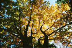 Natue-Forest-Spring Leaf Colors and Sun. Tree-Spring Colors as leaves change in a Forest. Upward view taken in Autumn in Colorado during Autumn Time Stock Image