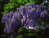 Natuer-11. Wisteria flowers are full blossom on trellis Royalty Free Stock Photography