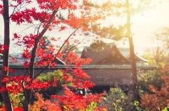 Natur Autumn Japan för röd lönn royaltyfri foto