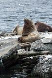 Natur av Kamchatka: Nordlig sjölejon eller Steller sjölejon Arkivbilder
